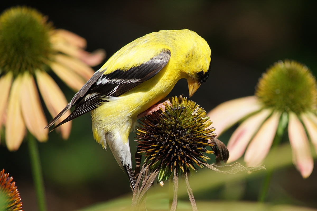 A sunny goldfinch on a coneflower