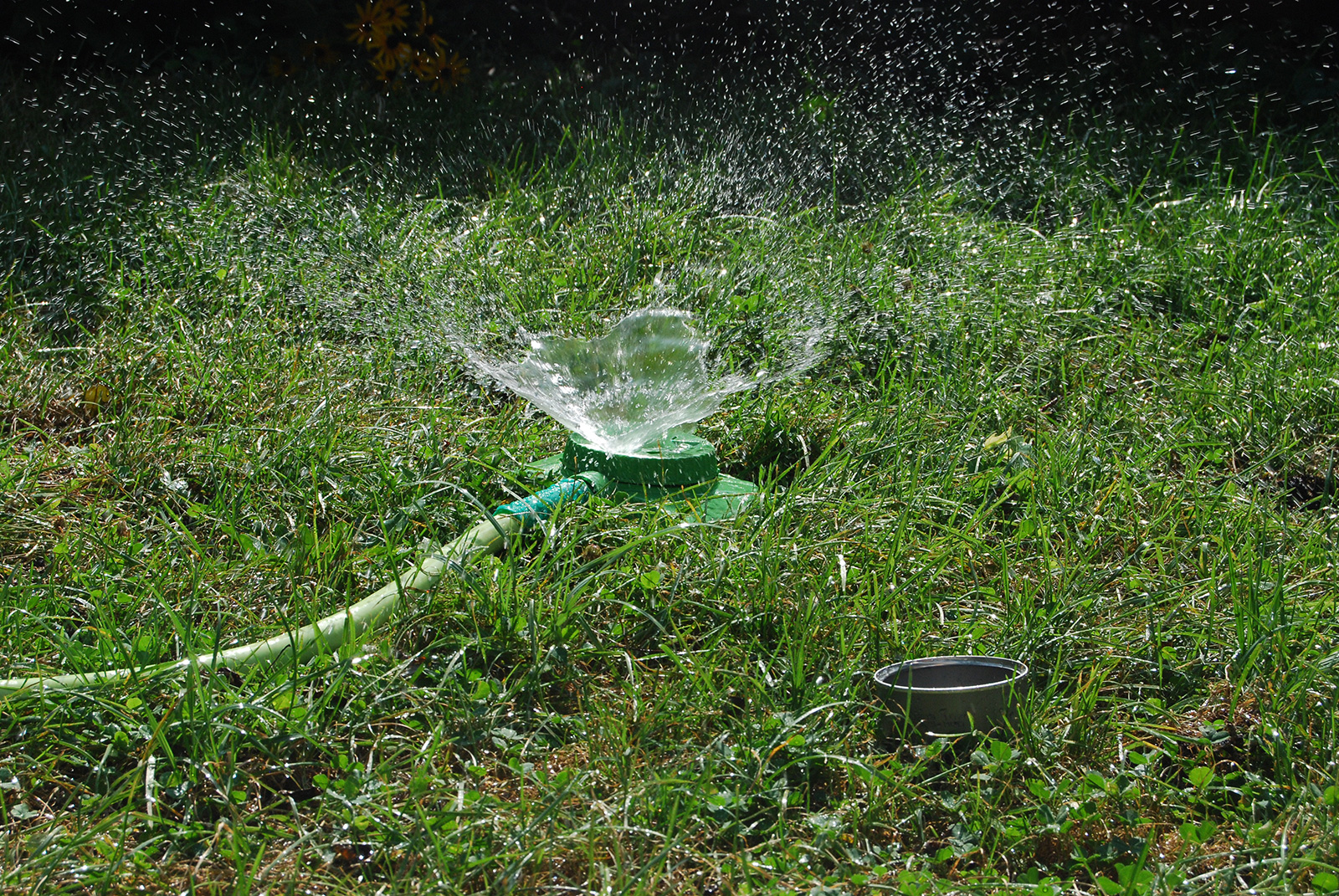 Sprinkler on lawn with tuna can in foreground