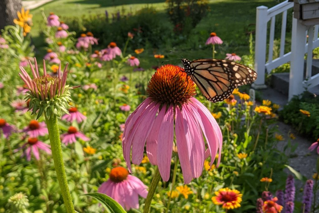 Monarch feeding on purple coneflower.